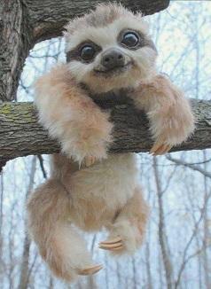 Маленький ленивец которому лень слезать с дерева